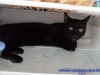 Motanul Ace - black cat