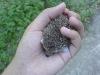 cute-hedgehog001