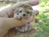 cute-hedgehog002