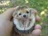 cute-hedgehog003