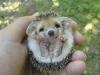 cute-hedgehog003