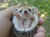 cute-hedgehog004