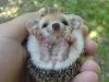 cute-hedgehog004