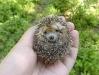 cute-hedgehog005