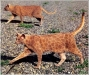 pisici-pictate-19