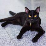 Rase de pisici – Bombay