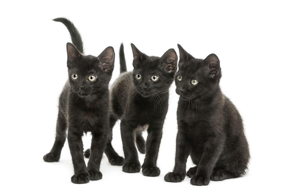 bombay-kittens